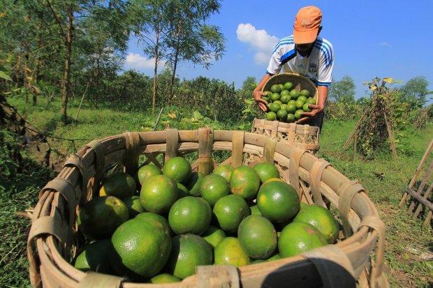 Peningkatan Ekspor Buah Diramal Perbaiki Kesejahteraan Petani.