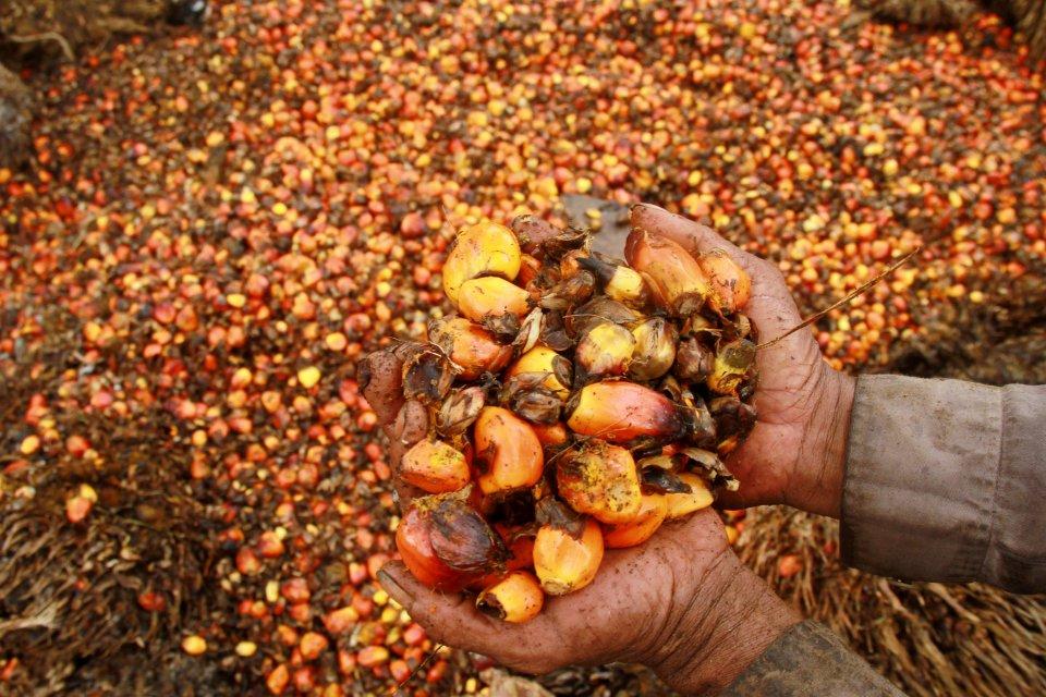Pekerja memperlihatkan biji buah sawit di salah satu perkebunan sawit di Topoyo, Kabupaten Mamuju Tengah, Sulawesi barat, Sabtu (25/3). Menurut pedagang pengepul di daerah tersebut, harga sawit mengalami penurunan dari harga Rp1.400 menjadi Rp1.000 per ki