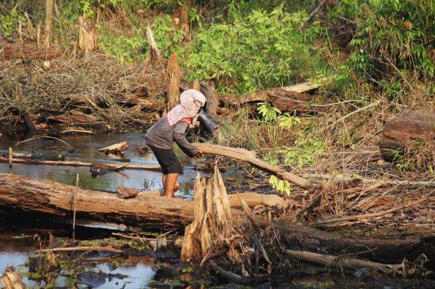 Pemanfaatan kayu kering di lahan hutan gambut