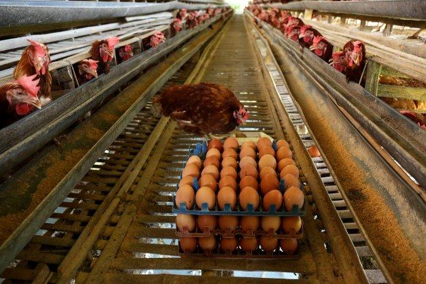 Telur ayam negri di peternakan Ayam bertelur di kawasan Cibinong, Bogor, Jawa Barat (16/12). Menjelang perayaan Natal dan Tahun Baru (Nataru) 2018, harga kebutuhan pokok seperti telur kini mulai tercatat naik. Kenaikan harga telur mencapai Rp 4 ribu per k
