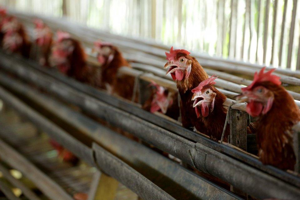 Sejumlah ayam bertelur di peternakan , kawasan Cibinong, Bogor, Jawa Barat (16/12). Menjelang perayaan Natal dan Tahun Baru (Nataru) 2018, harga kebutuhan pokok seperti telur kini mulai tercatat naik. Kenaikan harga telur mencapai Rp 4 ribu per kilogram (