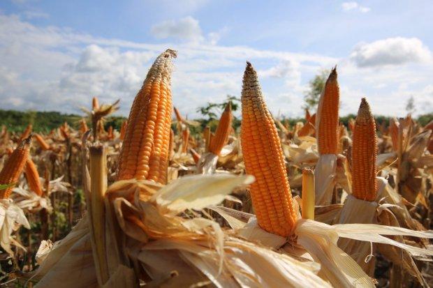 Kementan panen jagung