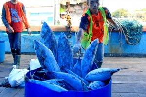 Hasil Tangkapan Ikan Tuna
