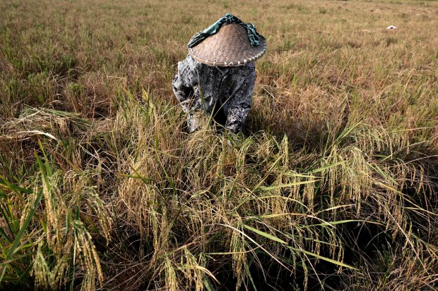 Petani dikawasan Marunda, Cilincing, Jakarta mulai sibuk memanen padi yang sudah mulai menguning (5/7). Rata-rata harga beras kualitas medium di penggilingan sebesar Rp 9.166 per kg atau naik sebesar 0,26 persen. Sedangkan rerata hara beras kualitas renda