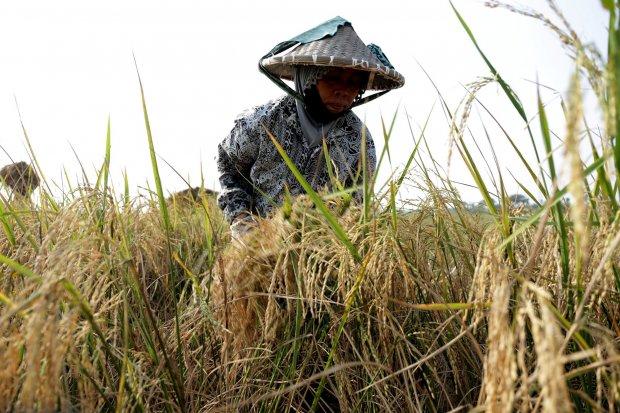 kekeringan, karhutla, stok beras, kementerian pertanian
