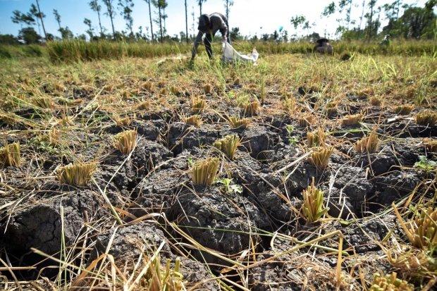Petani mengumpulkan tanaman padi yang rusak untuk dijadikan pakan ternaknya di Desa Batujai, Kecamatan Praya Barat, Lombok Tengah, NTB, Kamis (11/7/2019). Menurut keterangan para petani di daerah tersebut, ratusan hektar tanaman padi mereka mengalami gaga