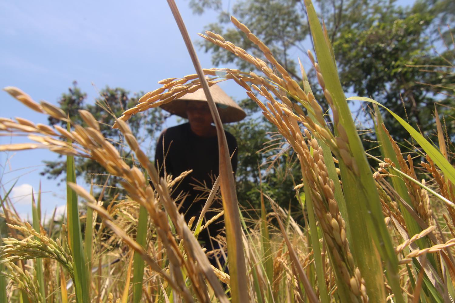 padi, data pertanian