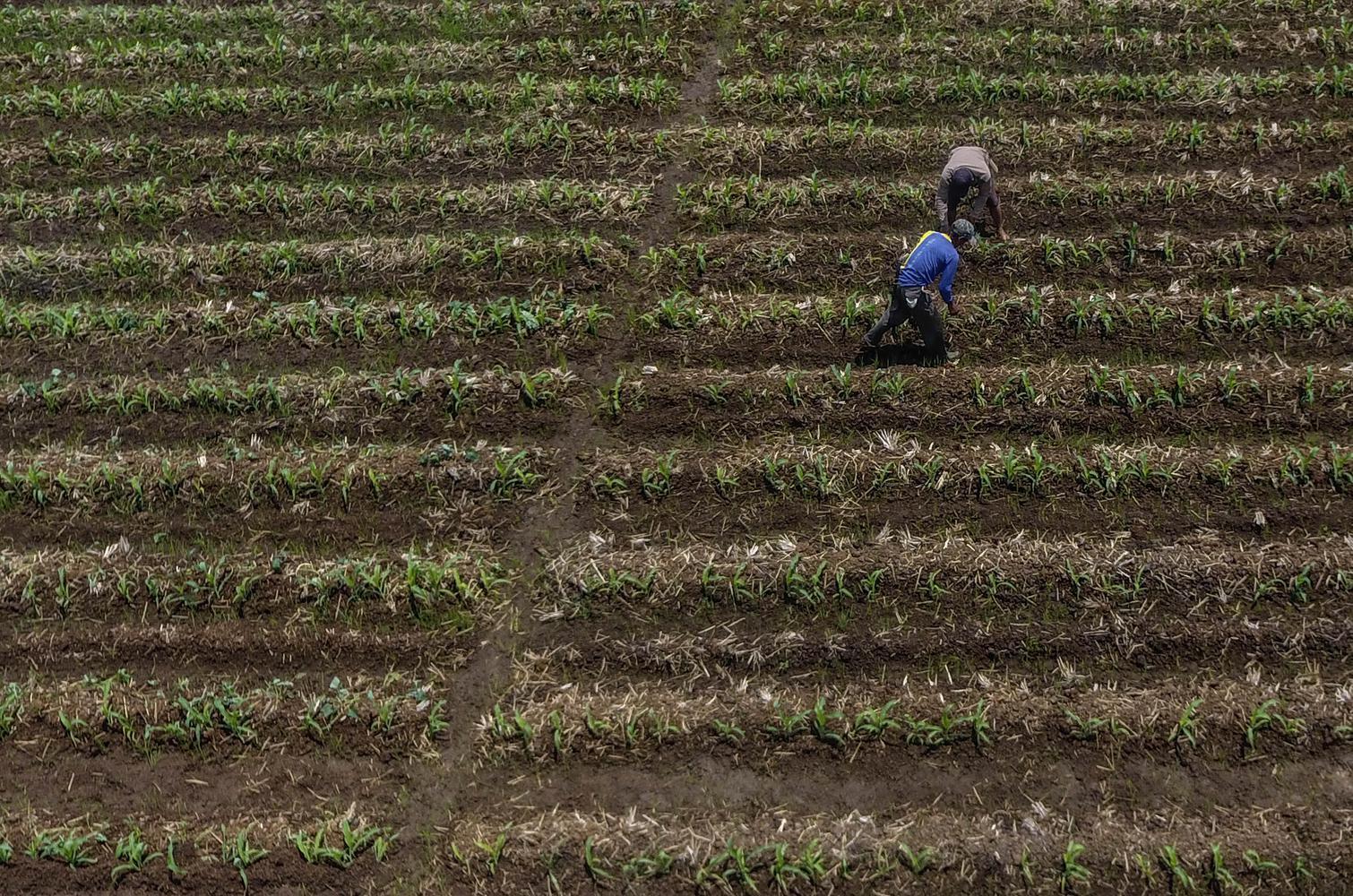 Foto udara petani menggarap sawah yang mengering di Desa Sukamenak, Kabupaten Tasikmalaya, Jawa Barat, Selasa (8/10/2019). Kementerian Pertanian (Kementan) menyebutkan luas lahan yang gagal panen atau puso akibat kekeringan mencapai 9.358 hektare yang ter