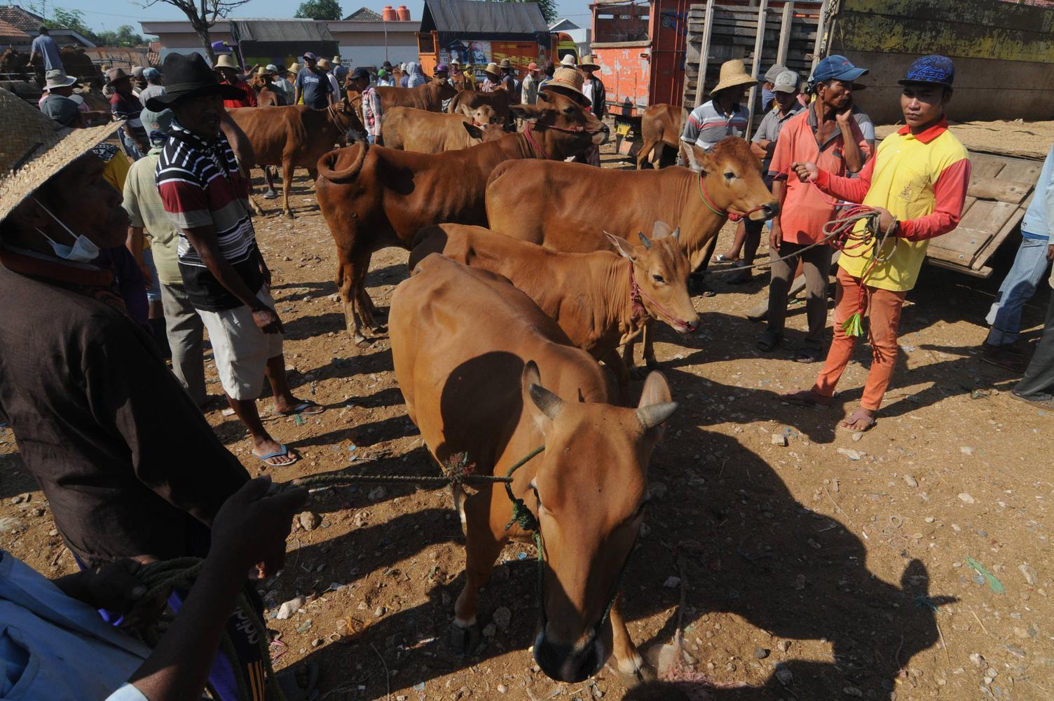 konsumsi daging sapi Indonesia, Peternakan