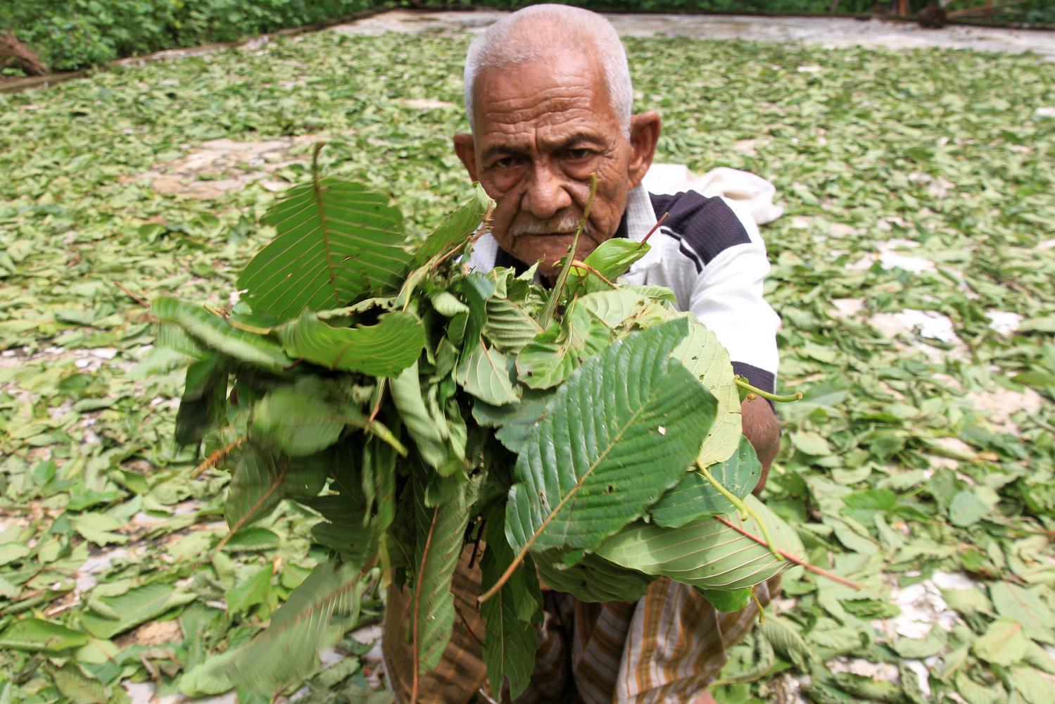 Seorang warga memperlihatkan daun pureng atau daun kratom (Mitragyna speciosa) saat proses penjemuran di kawasan Desa Simpang Peut, Kecamatan Arongan Lam Balek, Aceh Barat, Aceh, Sabtu (5/10/2019). Sejak beberapa bulan terakhir harga jual daun kratom naik
