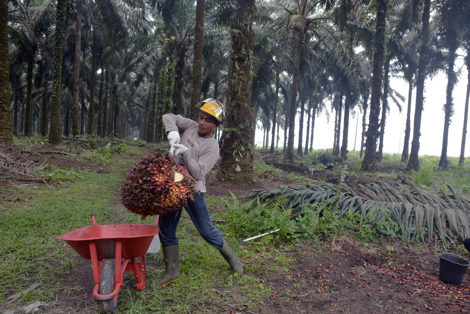 Pekerja mengangkut tandan buah segar kelapa sawit hasil panen di PT Ramajaya Pramukti di Kabupaten Siak, Riau, Rabu (2/10/2019).