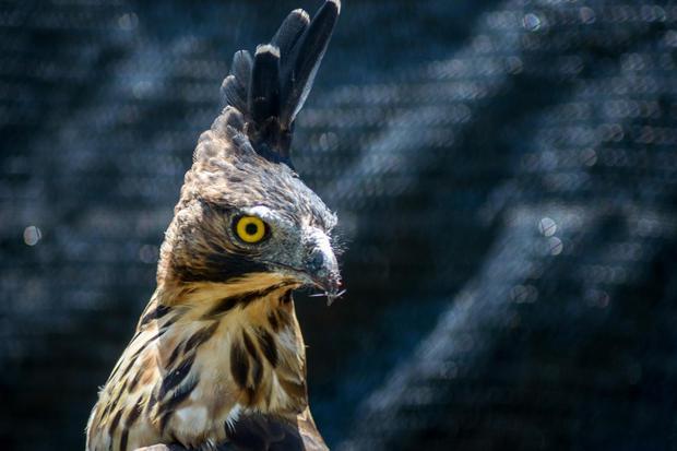 Seekor burung elang jawa berada di dalam kandang di Pusat Konservasi Elang Kamojang, Kabupaten Garut, Jawa Barat, Selasa (19/11/2019). Saat ini, Pusat Konservasi Elang Kamojang menampung 136 ekor burung elang dari 12 jenis, berdasarkan hasil sitaan dari p