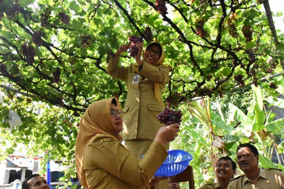 Bupati Tegal Umi Azizah memanen anggur merah yang dibudidayakan di lahan sempit di Desa Mangunsaren, Kecamatan Tarub.