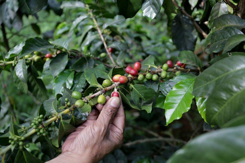 kopi, specialty coffee indonesia, gunung malabar, slamet prayoga