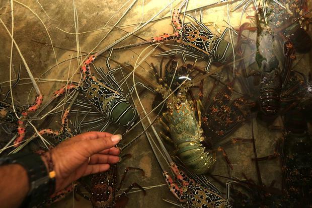Edhy Prabowo Ungkap Rencana Penghentian Ekspor Lobster dan Syaratnya.