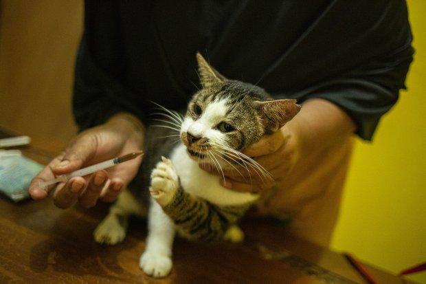 Cara Menghilangkan Kutu Kucing dengan Mudah