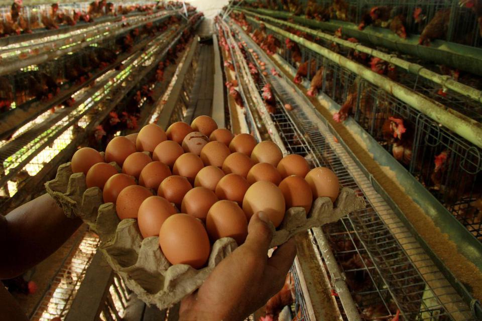 Jaga Stabilitas Harga Peternak, Berdikari Distribusikan 5.040 Kg Telur.