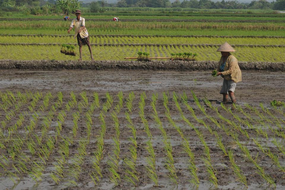 lahan gambut, sawah baru, satu juta hektare lahan gambut, ketersediaan pangan