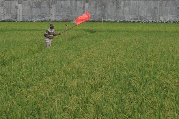 Ilustrasi, sawah padi. Menteri Pertanian (Mentan) mengungkapkan ketersediaan beras hingga akhir tahun tercukupi.