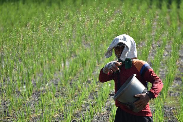 Ilustrasi, petani memupuk tanaman padi. PT Pupuk Indonesia melalui anak usahanya PT Pupuk Kalimantan Timur (Pupuk Kaltim) menawarkan urea non-subsidi bagi petani yang belum atau tidak masuk sistem e-RDKK.