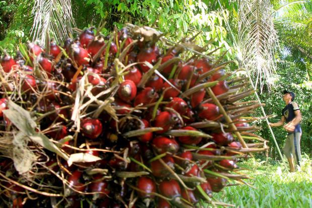 Petani memetik tandan buah segar (TBS) kelapa sawit di Desa Pasi Kumbang, Kecamatan Kaway XVI, Aceh Barat, Aceh, Kamis (11/6/2020). Harga TBS kelapa sawit tingkat petani sejak tiga bulan terakhir turun dari Rp1.100 per kilogram menjadi Rp700 per kilogram