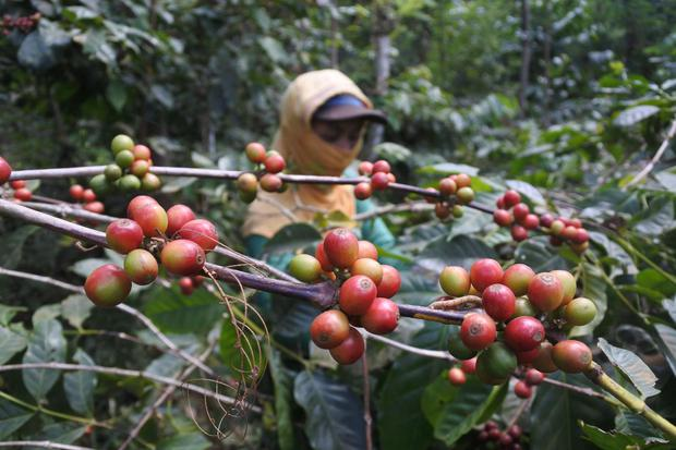 Studi YIDH: 90% Kopi Petani Rakyat Dibeli Pengumpul & Dijual ke Pasar.
