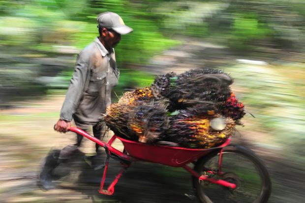 Pekerja mengangkut tandan buah segar (TBS) kelapa sawit di Muara Sabak Barat, Tajungjabung Timur, Jambi, Jumat (10/7/2020).Kementerian Perdagangan (Kemendag) mencatat permintaan produk sawit dunia mulai bergerak naik yang ditandai naiknya harga Crude Palm