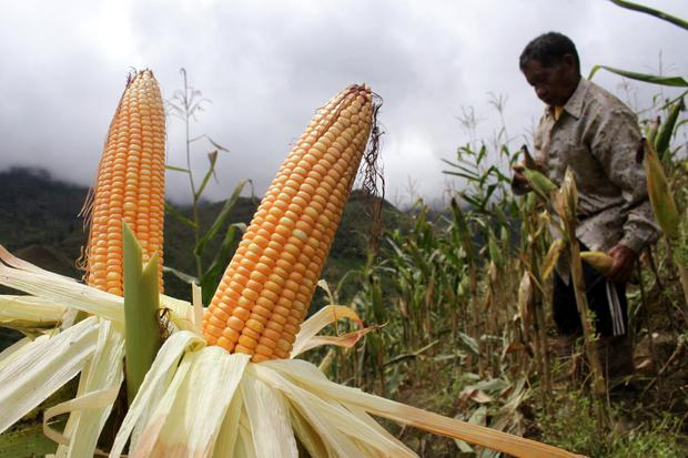 Petani memanen jagung miliknya di Desa Bone-Bone, Kabupaten Enrekang, Sulawesi Selatan, Selasa (4/8/2020).Petani setempat mengaku kualitas hasil panen jagung di daerah itu menurun akibat tingginya curah hujan beberapa pekan terakhir sehingga berdampak pad