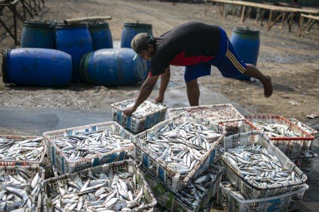 Ilustrasi, aktivitas nelayan memilah ikan. Startup perikanan Aruna mengatakan selama pandemi corona transaksi di platformnya meningkat 40%.