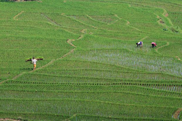 Petani menanam padi di areal sawah terasering desa Bantaragung, Sindangwangi, Majalengka, Jawa Barat, Sabtu (14/11/2020). Kementerian Pertanian menargetkan produksi padi musim tanam I (MT I) Oktober 2020 hingga Maret 2021 sebesar 20 juta ton setara beras