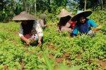 Kelompok tani perempuan memanen sayuran