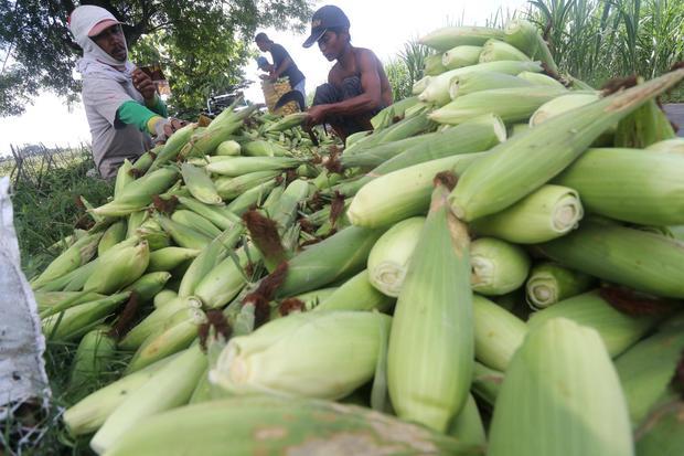 Manfaat jagung untuk kesehatan