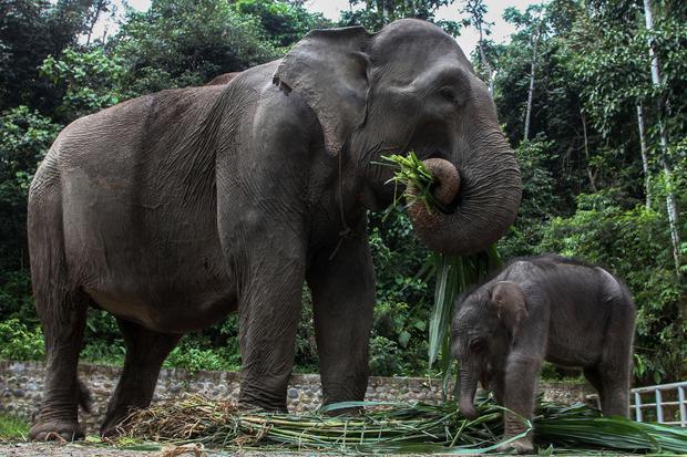 Gajah menjadi salah satu hewan terbesar di dunia.