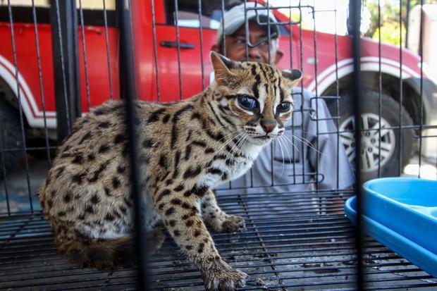 Salah satu kucing Kuwuk atau kucing hutan (prionailurus bengalensis) serahan warga berada di kandang observasi Balai Konservasi Sumber Daya Alam (BKSDA) resort Aceh Utara, di Lhokseumawe, Aceh, Jumat (26/2/2021). Kucing kuwuk dikenal juga macan akar itu s
