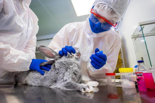 S. . /WSJ/ Seorang spesialis mengumpulkan sampel usap dari kelinci di sebuah laboratorium pusat Federal untuk kesehatan hewan pada pengembangan vaksin melawan virus corona (COVID-19) untuk hewan, di Vladimir, Rusia, 9 Desember 2020.