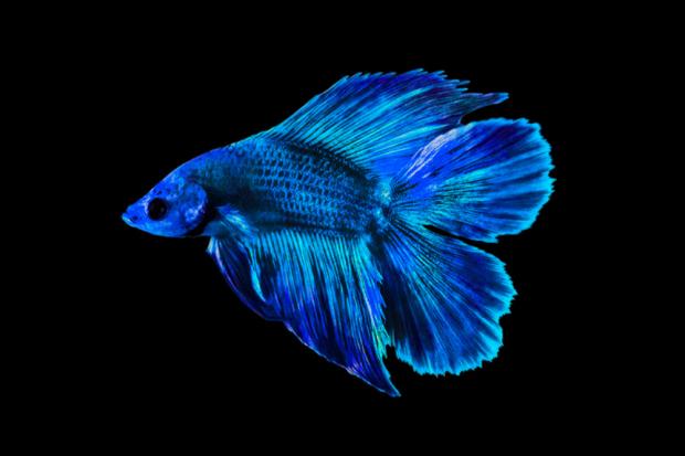 Ikan cupang double tail, salah satu jenis cupang dengan harga mahal.