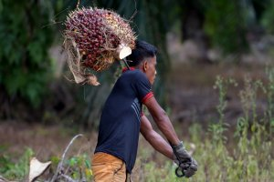 Seorang pekerja di perkebunan kelapa sawit membawa tandan buah sawit