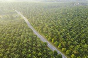 Ilustrasi lahan kelapa sawit, CPO