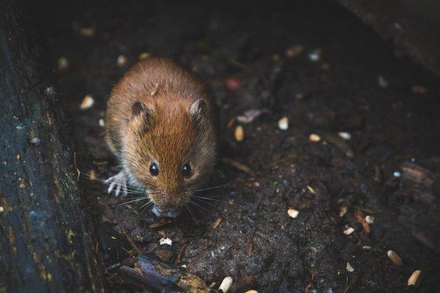 Ilustrasi cara mengusir tikus