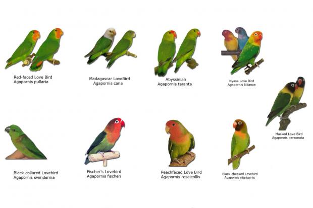 Ilustrasi sembilan jenis burung lovebird