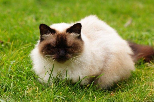 Potret kucing himalaya yang menggemaskan