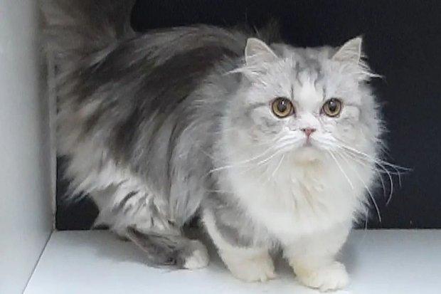 Potret kucing munchkin yang cantik dan menggemaskan