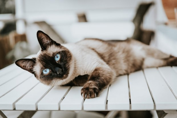 Gambar kucing siam