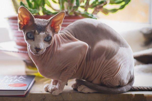 Foto kucing sphynx tanpa bulu