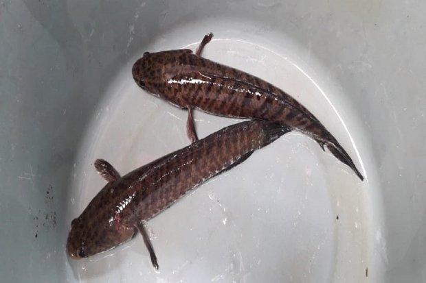 Ikan Gabus yang baru saja ditangkap dan diamankan dalam ember