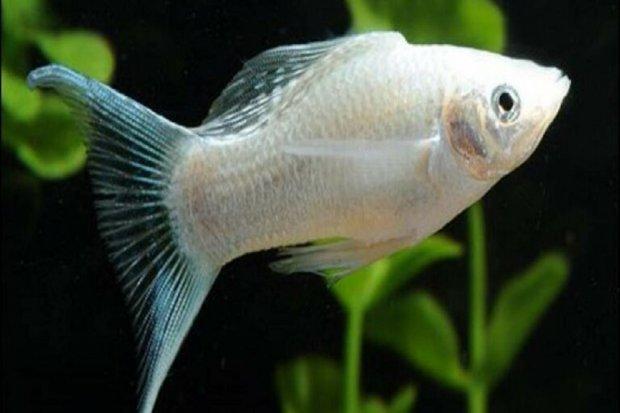 jenis ikan molly, Ikan Molly