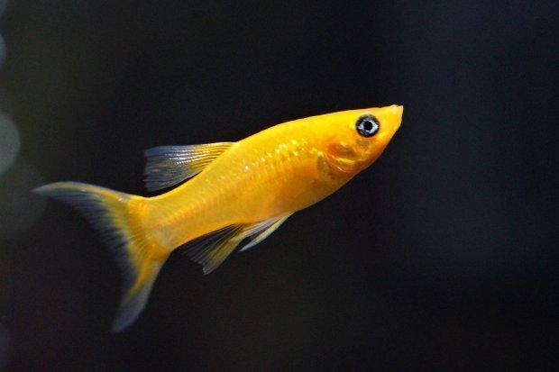 Ikan molly, salah satu jenis ikan hias yang banyak diburu kolektor.