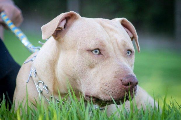 Anjing Pitbull.
