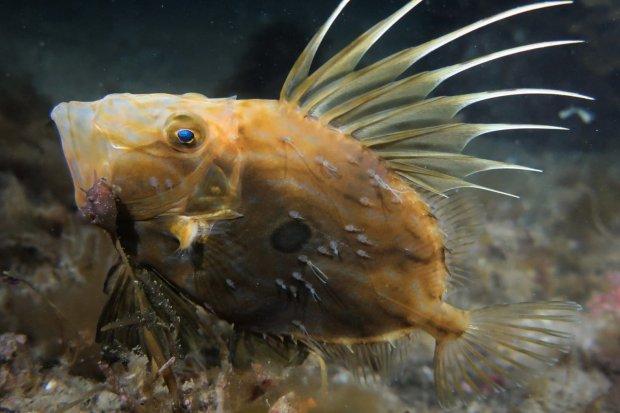 Penampilan ikan dori yang hidup di air laut