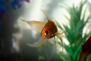 Ikan mas koki goldfish